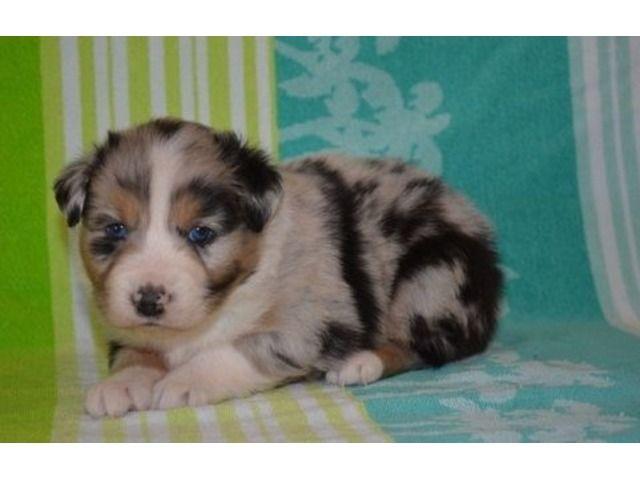 Terrificaustralianshepherdpuppiesavailableforsale Corgi Australian Shepherd Puppies Pembroke Welsh Corgi