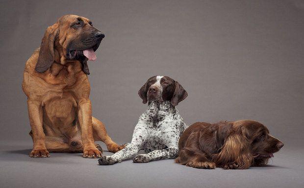 Cachorros:Cão de Santo Humberto, Pointer Alemão de Pelo Curtoe o Sussex Spaniel