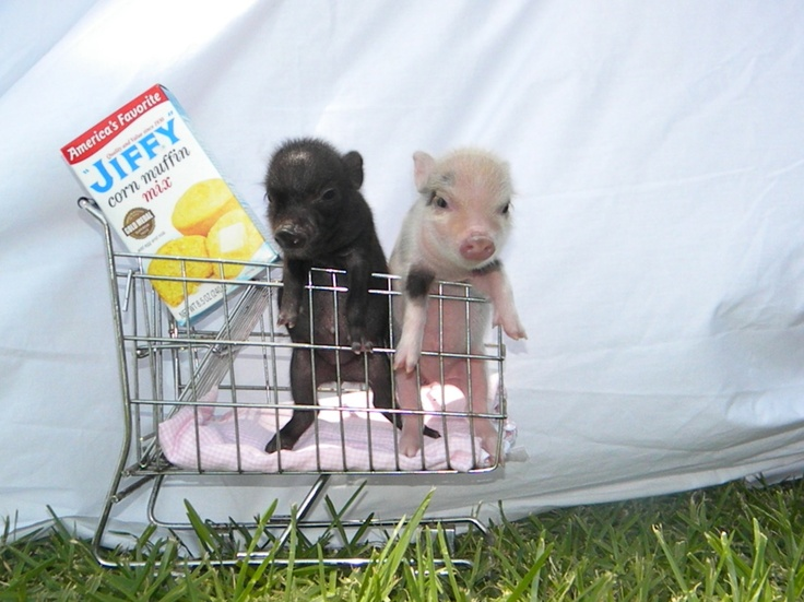 baby pigs, tiny grocery cart!