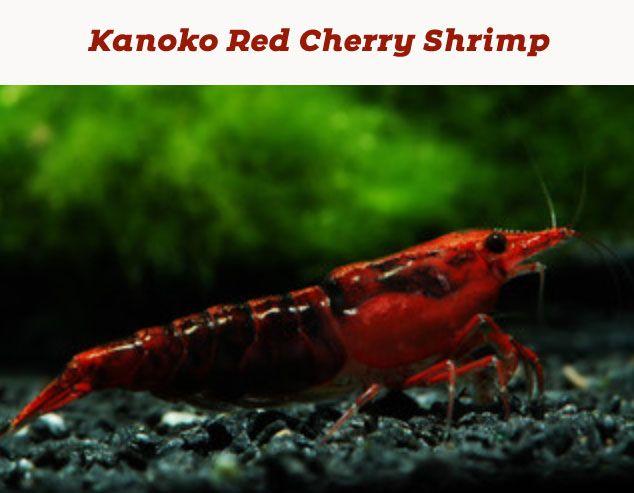 Pin On Shrimp Tank