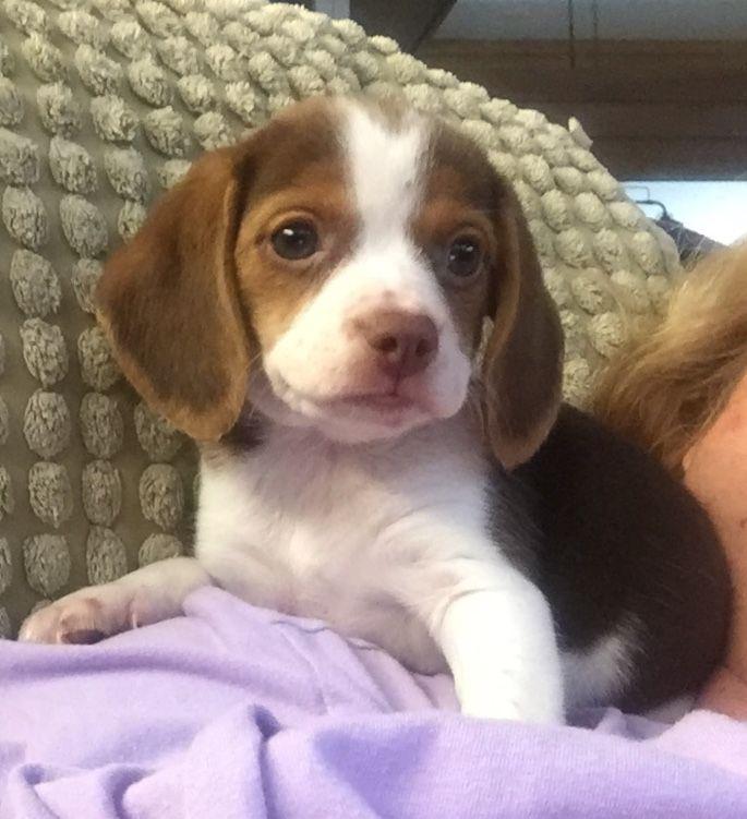 Pocket Beagle Puppies Beagle Puppy