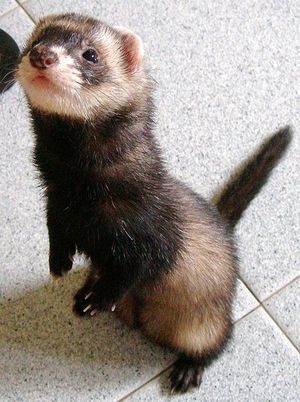 I want a ferret more than ANYTHING (other than my families happiness of course, but i dont think sant can do that ;) )