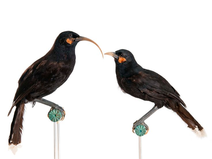 Image result for huia bird images