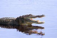 Endlich Sommerloch: Regierung setzt Krokodil im Rhein aus, um von Skandalen abzulenken