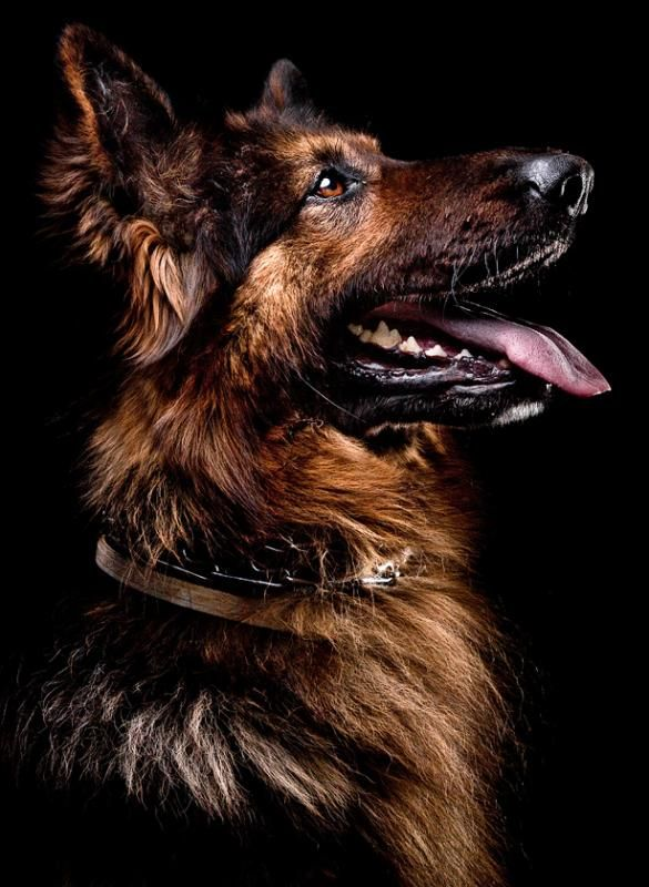 Just CATS and DOGS only. German shepherd, black background