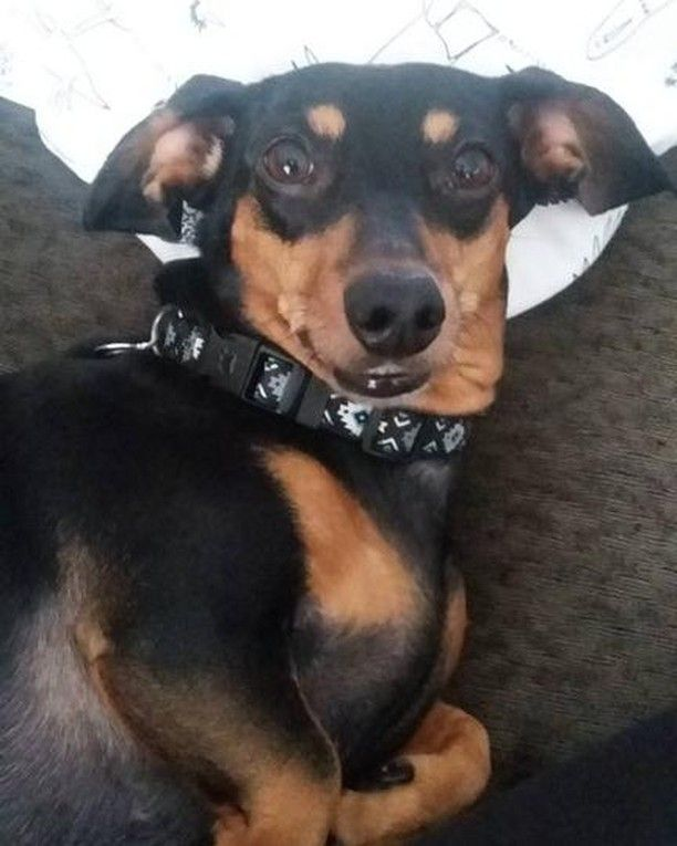The Weird Face You Make When Someone Taking A Pic Of You Doxie