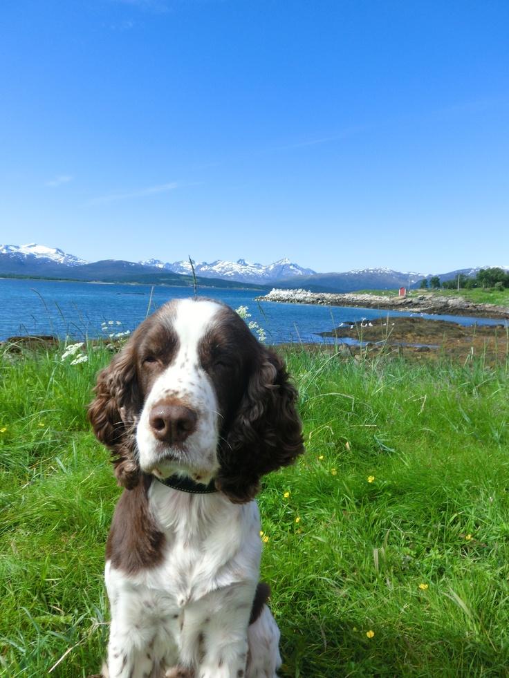 Billy the springer spaniel - enjoying  a lovely summer day in Tromsø, Norway