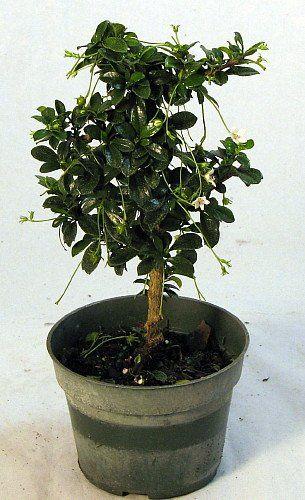 "Amazon.com : Mini Fukien Tea Pre Bonsai Tree - Carmona - 4"" Pot - Indoors : Bonsai Plants : Patio, Lawn & Garden"