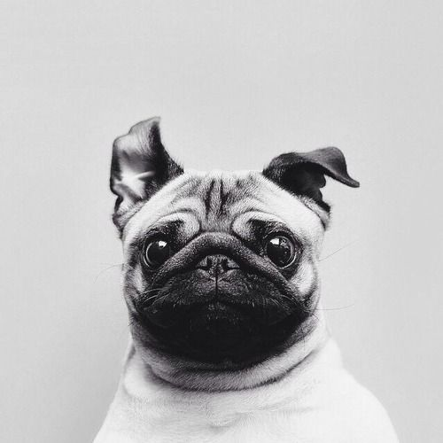10 Life Lessons We Learned From Pugs - ON.com Blog
