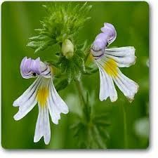 Eyebright- This plant is used to treat eye health issues such as eye inflammation, conjunctivitis, cataracts, and styes, as well as respiratory conditions like bronchitis, colds, and allergies, and skin issues such as acne and stretch marks. The Eyebright plant may also help to improve memory.LoeblCom Services