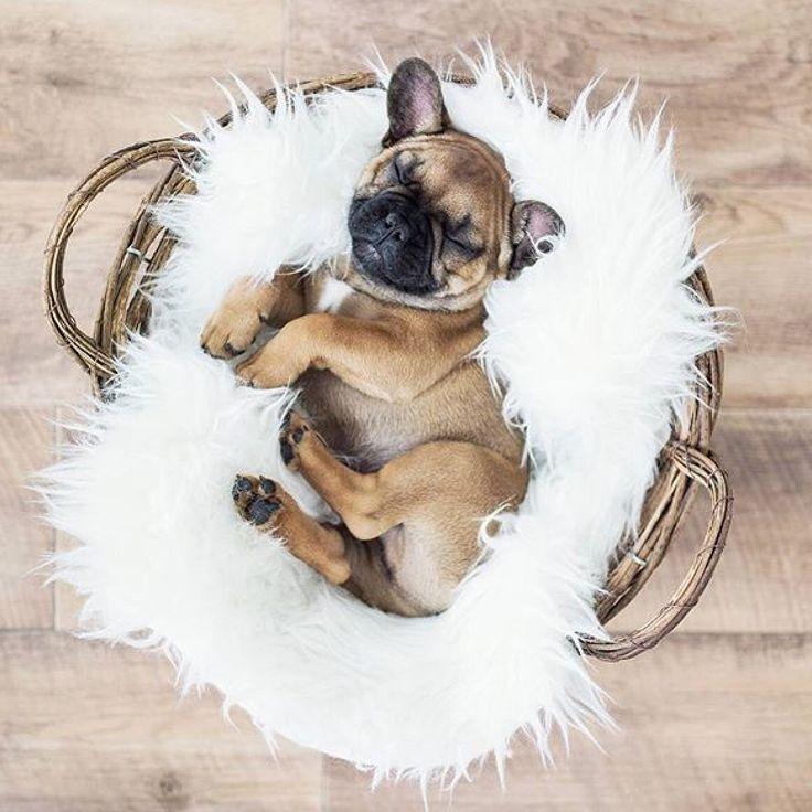 Cuteness overload ♡  #frenchbulldog #frenchie #frenchies