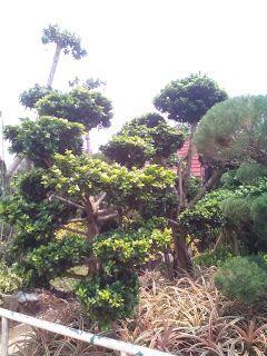 Jual Pohon Bonsai Beringin Korea Tanaman Hias Bonsai