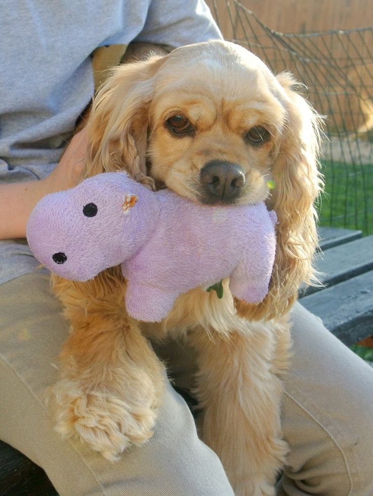 Tasha is an adorable young Cocker Spaniel who loves her tennis ball and loves to snuggle with her people. In fact, she really loves sitting on your lap with her tennis ball in her mouth!We estimate that Tasha is 1-2 years old. She is a petite girl...