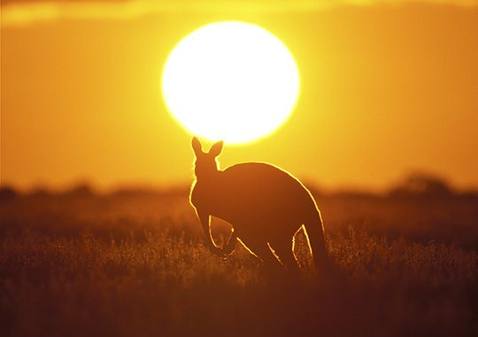 #Kangaroo at #sunset in the Red Centre
