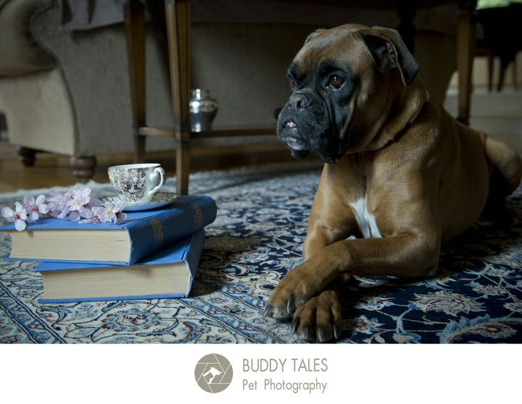 Adorable boxer relaxes over a cup of tea and a couple of good books