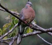 Spotted Doves are mostly light brown above, with darker centres to the feathers of the back and wings
