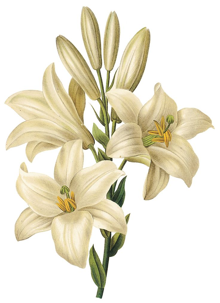 SPRING / EASTER LILY CLIP ART