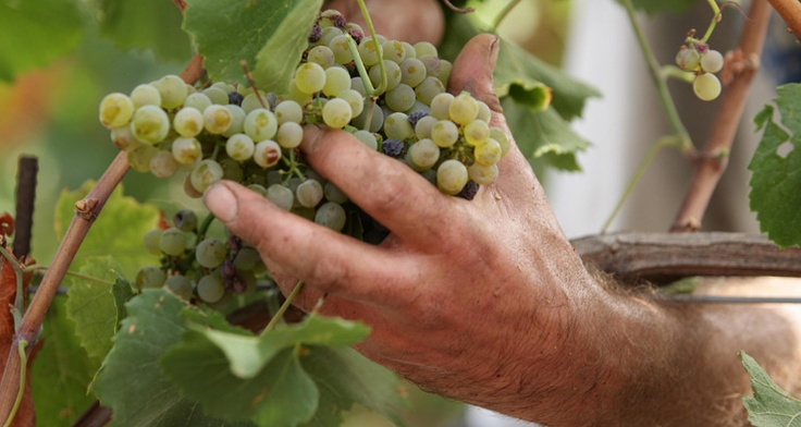 The harvest: all grapes are hand-picked, when the level of sugar and overall acidity have reached their peak