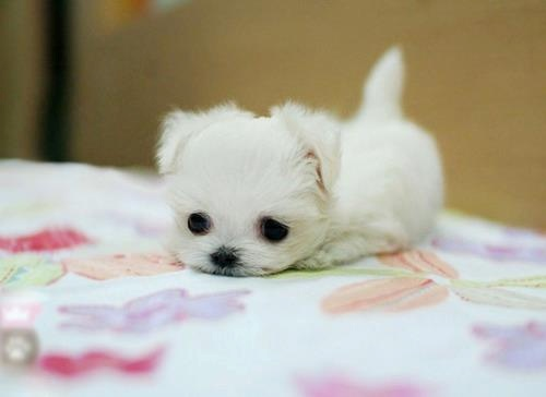 Amazing Fluff Ball Adorable Dog - 27f97f35fe2025c15b143bce32858fbb--tiny-puppies-adorable-puppies  Gallery_623848  .jpg