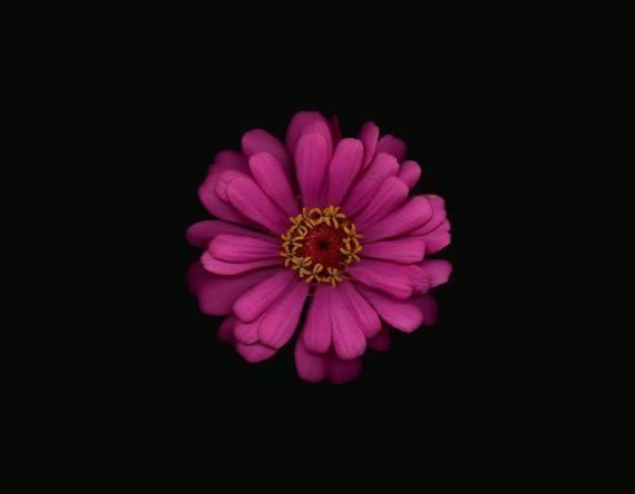Beautiful zinnia flower photography by NiaMaeOBrien on Etsy at https://www.etsy.com/ca/listing/502685206/zinnia-flower-photo