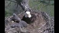 Decorah Bald Eagles  You can watch this wonderful Bald Eagle family via Ustream at this link.  http://www.ustream.tv/decoraheagles