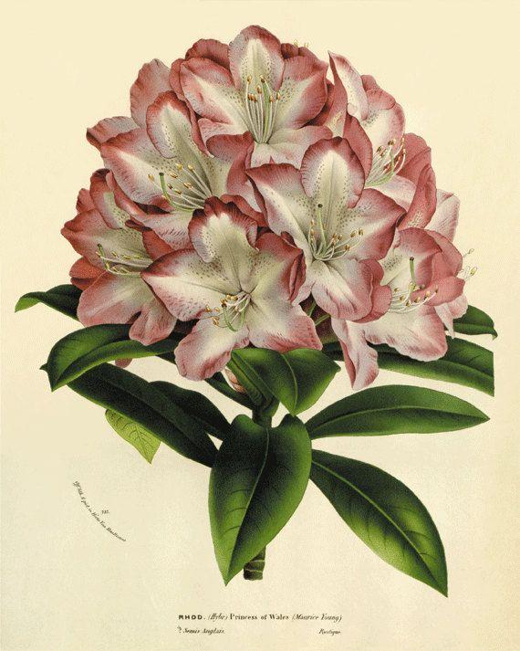 Grabados de rododendro antiguos grabados botánicos antiguos