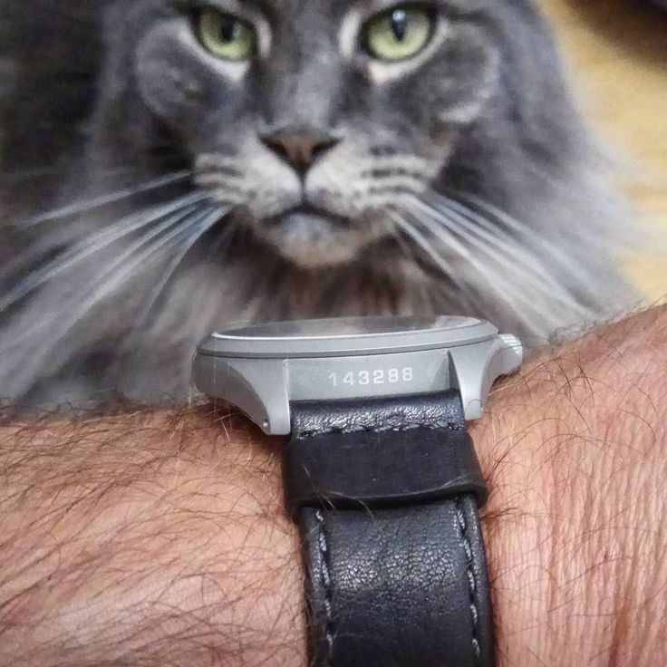 HIrsch Rebel..what's more beautiful, the leather strap or the cat? Credit to @ johnnytotsamyi