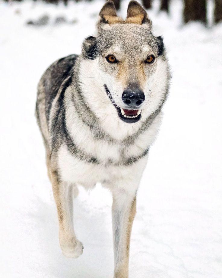 Mayoulie   #wolfdog #travelwithmaya