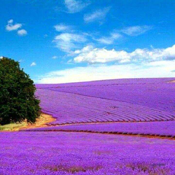 The lavender fields, in Fredericksburg, TX.
