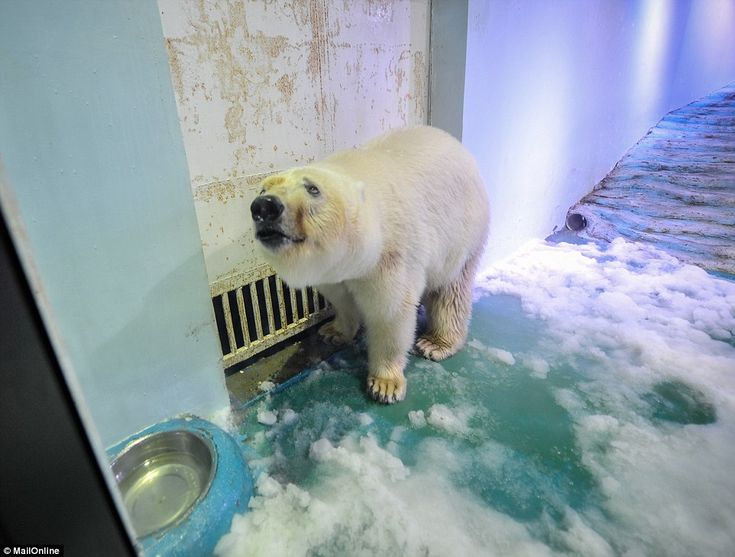 Desperate: Pizza, the three-year-old polar bear, is trapped in a tiny enclosure at the Grandview Aquarium, in a shopping centre in the southern city of Guangzhou, where she has only a tiny amount of space to run or play