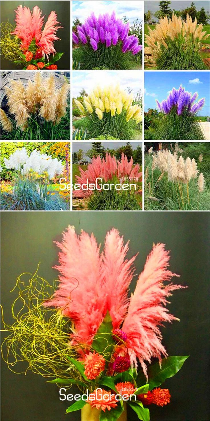 [Visit to Buy] Big Sale!Pampas Grass Seed Patio and Garden Potted Ornamental Plants New Flowers Cortaderia Grass Seed 50 Pcs/Pack,#RASO71 #Advertisement