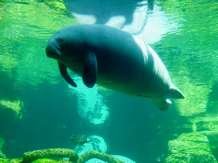 FloridaManatees Glide, Sea Lion, Florida Manatees