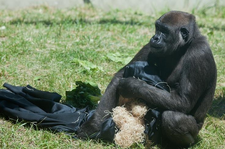 Umande Western lowland gorilla Western lowland gorilla