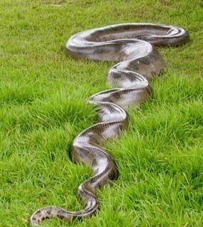 Sucuri a cobra gigante do pantanal