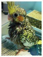Baby cockatiel