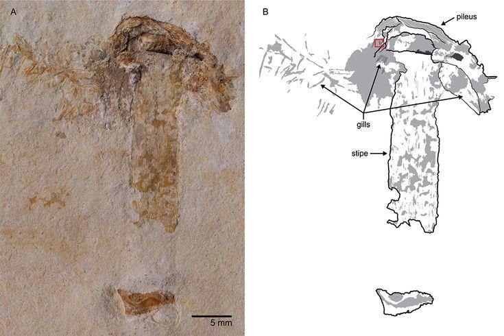 Hallan la seta más antigua, que compartió la Tierra con los dinosaurios