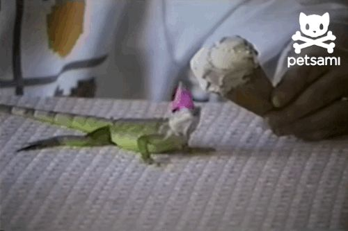 This Baby Iguana Got To Eat Ice Cream For His Birthday