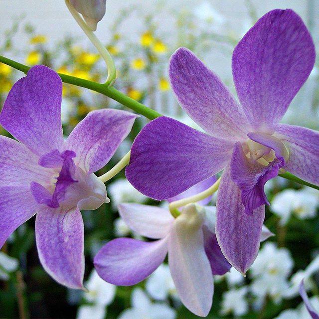 17 best images about dendrobium on pinterest white orchids columns and vietnam. Black Bedroom Furniture Sets. Home Design Ideas
