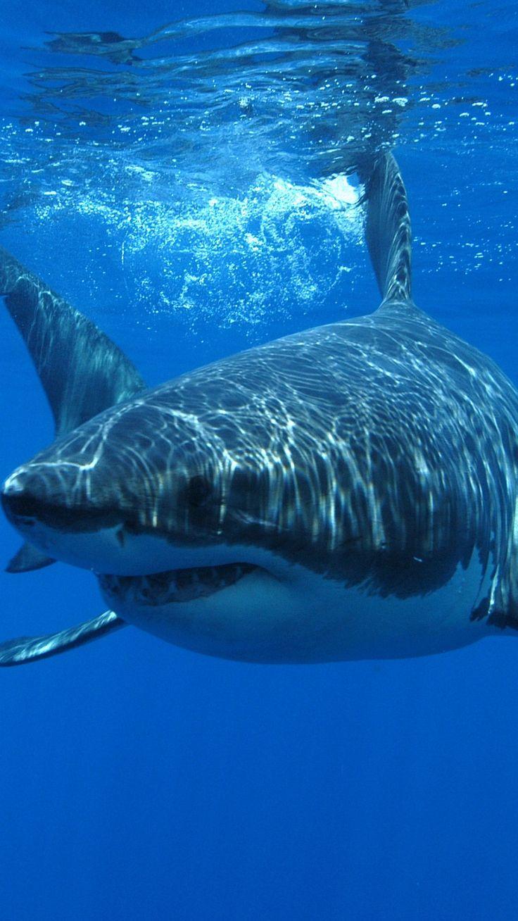 Animal Great White Shark Sharks Mobile Wallpaper