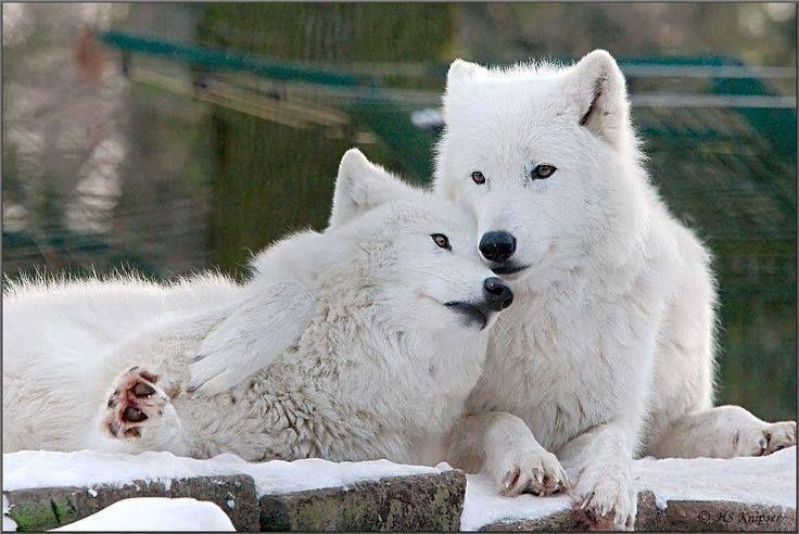 Журавли, смотреть картинки волки с надписями