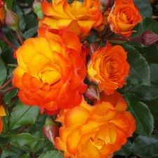 WILD CAT   Roses by Name   Shades of Orange / Salmon   Multi Colour   Floribunda   New and Recent Releases 2015
