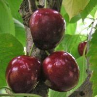 Tailler le cerisier (Fiches conseils)