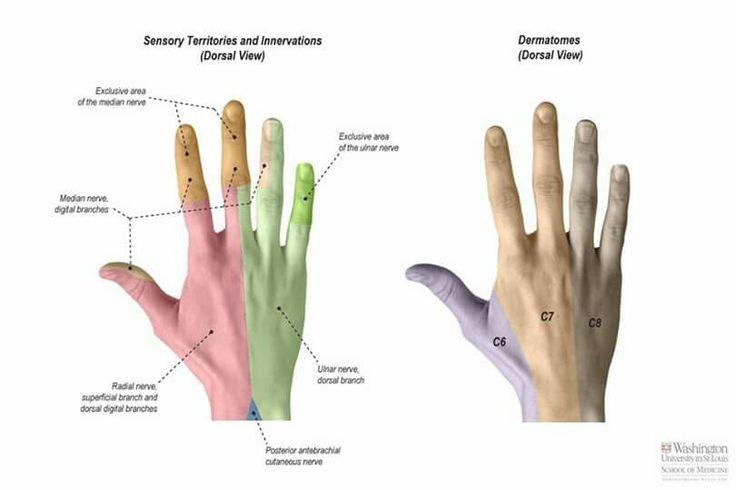 8 best Anatomy images on Pinterest | Anatomy, Human anatomy and Hand ...