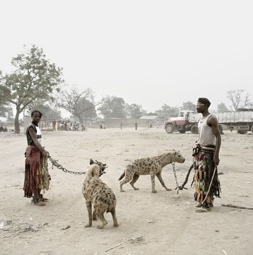 Image result for Hyena on a lead