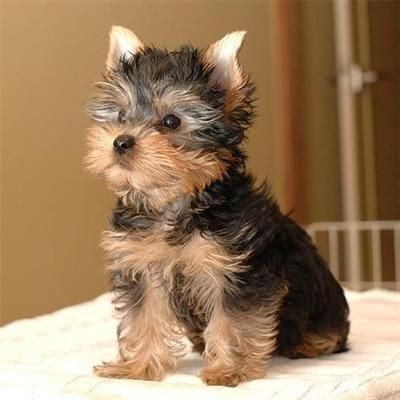 Teacup Yorkie.  I don't normally like little dogs, but this one is particularly precious!