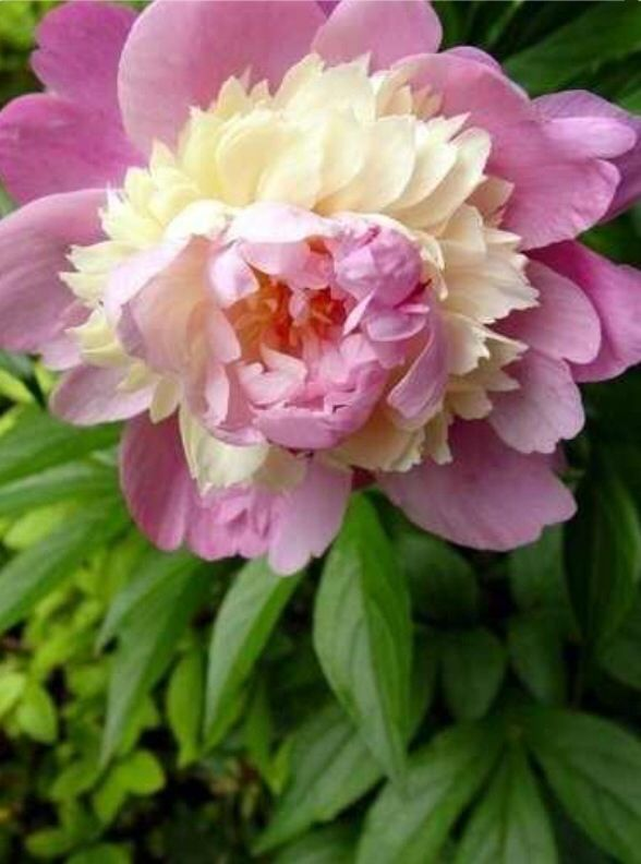 Peony.... Mother natures art work!