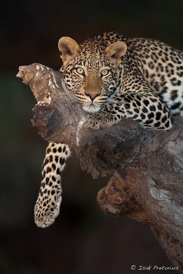 Young Male Leopard -  such an intense piercing gaze...Awesome !