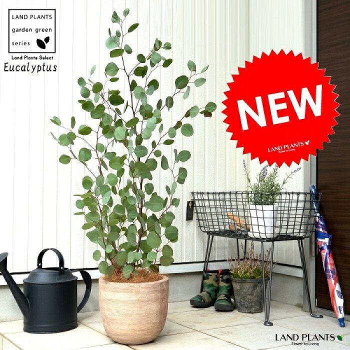 楽天市場 ユーカリ ポポラス デザインの良い テラコッタ 鉢植え