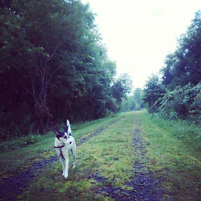 早朝散歩。#こむぎ #元保護犬 #中型犬 #Mix犬 #愛犬 #モデルポーズ #犬との生活#お散歩 #朝活 #早寝早起き #きのうテレビで #早起きは #ダメ #衝撃 #健康のため #ウォーキング #森林 #自然 #田舎 #道 #北海道