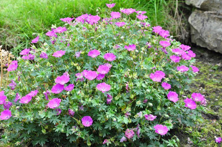"Geranium sanguineum 'Max Frei' Max Frei Geranium Height: 8""-10"" Spread: 8""-10"" ABHI Foliage: green, red in fall Flower: magenta, May - Aug."